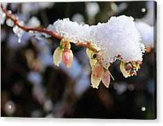 Snow On Blueberry Blossoms Acrylic Print by Kristin Elmquist