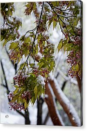 Acrylic Print featuring the photograph snow on the Cherry blossoms by Chris Flees