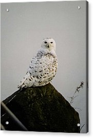 Acrylic Print featuring the photograph Snow Owl by Jack G  Brauer