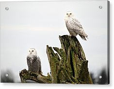 Snow Owls Of Boundary Bay Acrylic Print by Pierre Leclerc Photography