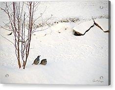 Snow Quail Acrylic Print