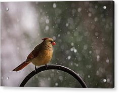 Acrylic Print featuring the photograph Snow Showers Female Northern Cardinal by Terry DeLuco