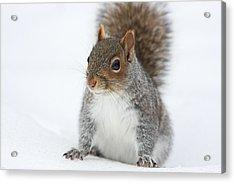 Snow Squirrel Acrylic Print by Karol Livote