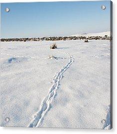 Snow Tracks Acrylic Print