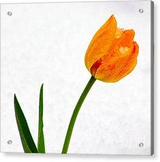 Snow Tulip Acrylic Print by Dennis Wagner