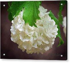 Snowball Bloom Acrylic Print