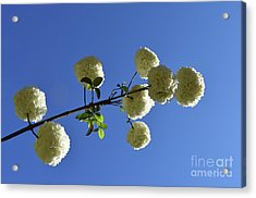 Acrylic Print featuring the photograph Snowballs On A Stick by Skip Willits