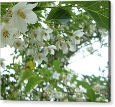 Snowbell Sparkles In Spring Acrylic Print