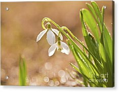 Snowbell With Dew Drops Acrylic Print