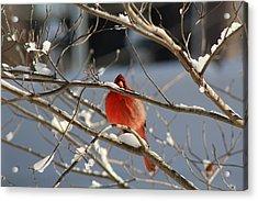 Snowbird Acrylic Print