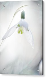 Acrylic Print featuring the photograph Snowdrop A Fragile Hint Of Spring by Dirk Ercken