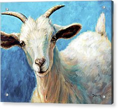 Snowflake, A Baby Cashmere Goat Acrylic Print