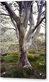 Snowgum Like Whirling Dervish Acrylic Print by Adrianne Wood