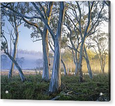 Snowgums At Navarre Plains, South Of Lake St Clair. Acrylic Print by Rob Blakers