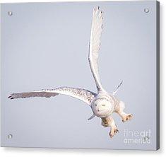 Snowy Owl Flying Dirty Acrylic Print