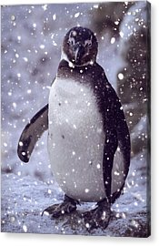 Acrylic Print featuring the photograph Snowpenguin by Chris Boulton