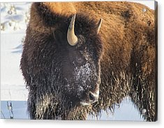 Snowy Bison Acrylic Print