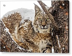 Snowy Bobcat Acrylic Print