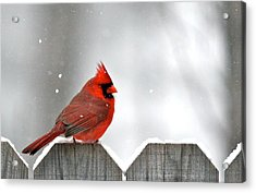 Snowy Cardinal Acrylic Print by Debbie Sikes
