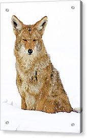 Snowy Coyote Acrylic Print