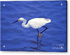 Acrylic Print featuring the photograph Snowy Egret 1 by Bill Holkham
