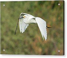 Snowy Egret 4786-091017-1cr Acrylic Print