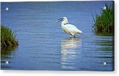 Snowy Egret At Dinner Acrylic Print by Rick Berk