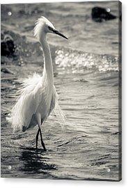Snowy Egret At Lake Chapala Acrylic Print by Dane Strom