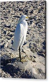 Snowy Egret At Naples, Fl Beach Acrylic Print