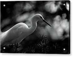 Snowy Egret Bw Acrylic Print