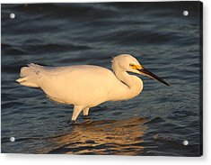 Snowy Egret By Sunset Acrylic Print by Christiane Schulze Art And Photography