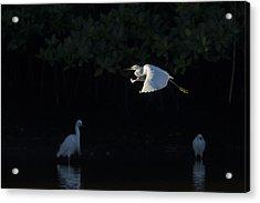 Snowy Egret Gliding In The Morning Light Acrylic Print