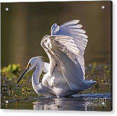 Snowy Egret Hunting - Egretta Thula Acrylic Print