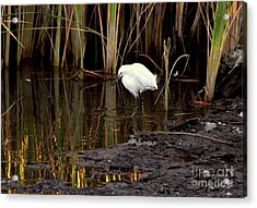 Snowy Egret In Late Afternoon Acrylic Print