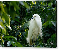 Snowy Egret In The Trees Acrylic Print