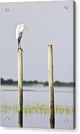 Snowy Egret On Pilings Acrylic Print