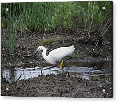 Acrylic Print featuring the photograph Snowy Egret  On The Prowl by Daniel Hebard