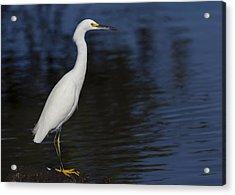 Snowy Egret Perched On A Rock Acrylic Print