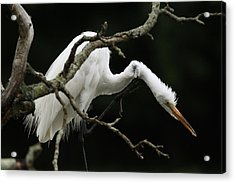 Snowy Egret Setauket New York Acrylic Print