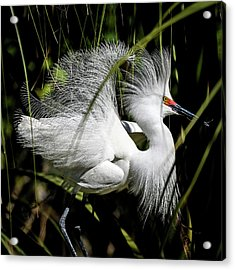 Acrylic Print featuring the photograph Snowy Egret by Steven Sparks