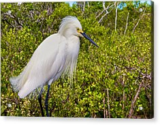 Snowy Egret Acrylic Print by William Wetmore