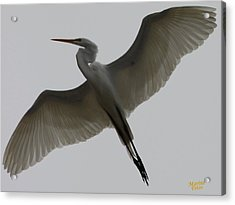 Snowy Egret Wings Of An Angel Acrylic Print