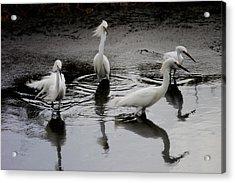Snowy Egrets I Acrylic Print