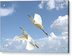 Snowy Egrets In Flight Acrylic Print