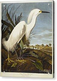 Snowy Heron Acrylic Print by John James Audubon