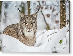 Acrylic Print featuring the photograph Snowy Lynx by Eva Lechner