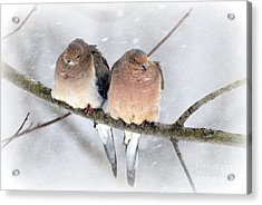Snowy Mourning Dove Pair Acrylic Print by Lila Fisher-Wenzel