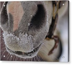 Snowy Muzzle  Acrylic Print by JAMART Photography
