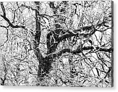 Snowy Oak Acrylic Print