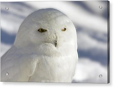 Snowy Owl - Harfang Des Neiges Acrylic Print